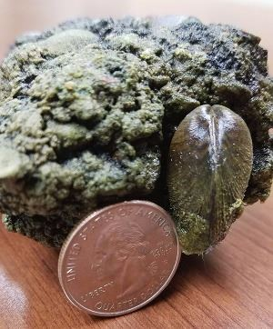 zebra mussel next to a coin to show its size