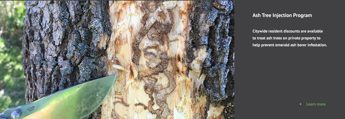 emerald ash borer larvae damage on tree trunk