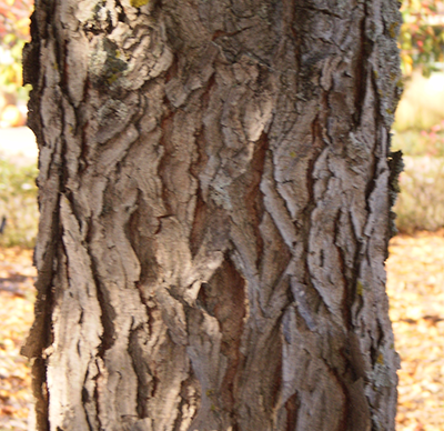 Kentucky coffeetree bark
