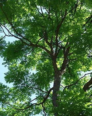 Kentucky coffeetree (courtesy of Missouri Botanical Garden)