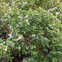 Common Ninebark shrub